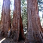Giant Sequoias 10