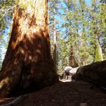Giant Sequoias 11