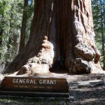 Giant Sequoias 14