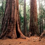 Giant Sequoias 4