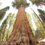 Giant Sequoias 5